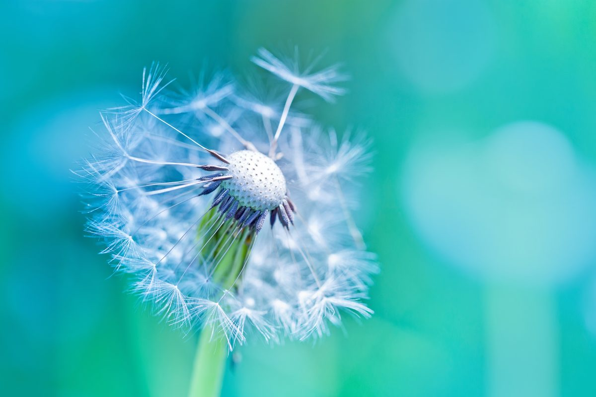 An image of a flower letting go its puff. Just as the flower does, we need to start our emotions release journey with the small things first.